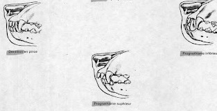 челюсти английского кокера (сбоку)