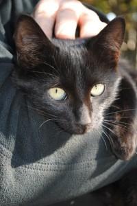 черный котенок объявление