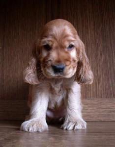 щенок английский кокер спаниель