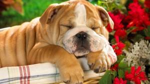 щенок английского бульдога спит в корзинке