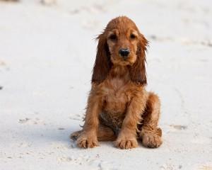 щенок английского кокера на пляже