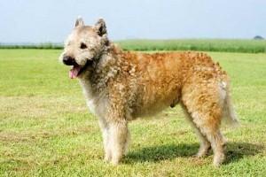 Бельгийская овчарка - лакенуа