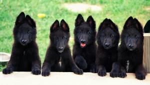 Грюнендаль  щенки