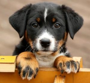 милый щенок аппенцеллера