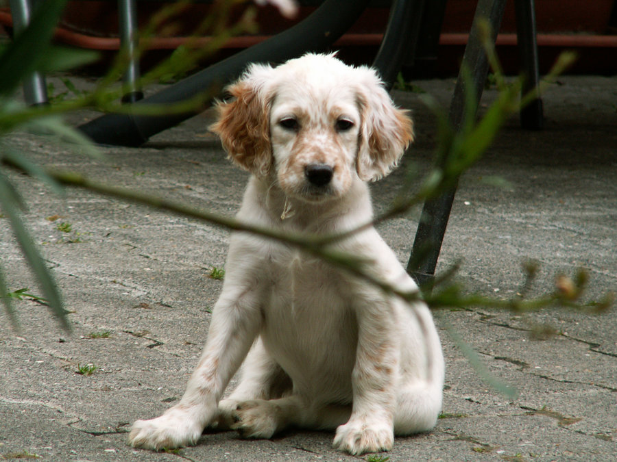 щенок английского сеттера