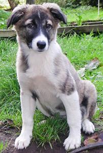 щенок атласской овчарки