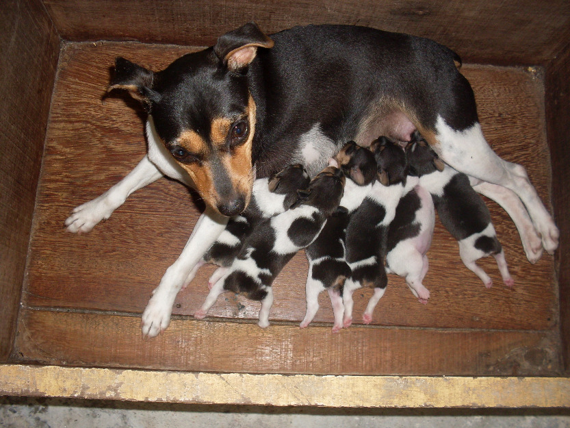 бразильский терьер со щенками