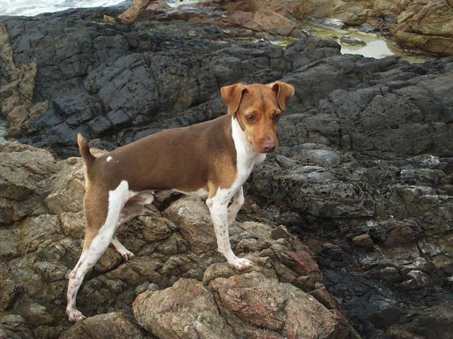 коричневый бразильский терьер