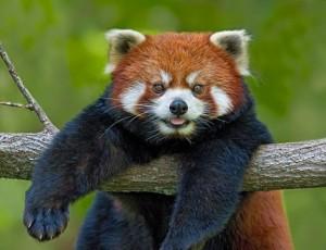 красная панда висит на ветке