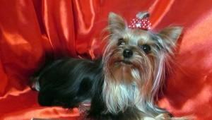 самая маленькая собака россии