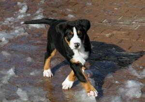 щенок большого зенненхунда