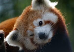 красная панда подмигивает