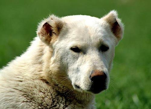 Карская собака