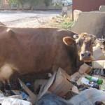 бездомная корова на помойке