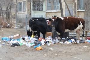коровы на помойке