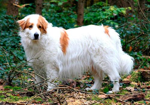 Хорватская планинская собака