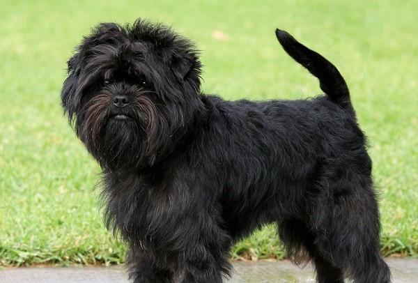Порода собак аффенпинчер фото