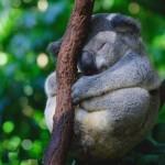 коала спит между ветками