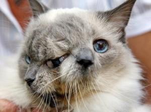 кот с двумя мордами френк-и-луи