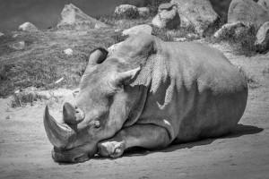 северный белый носорог умер