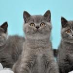 три британских котенка