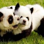 собаки-панды
