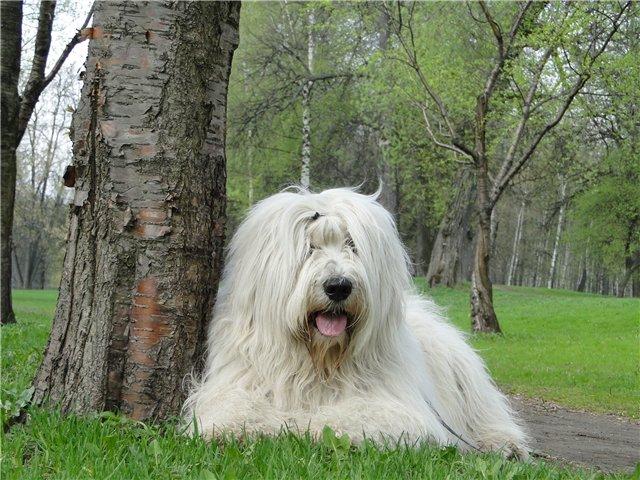 Южнорусская овчарка у дерева