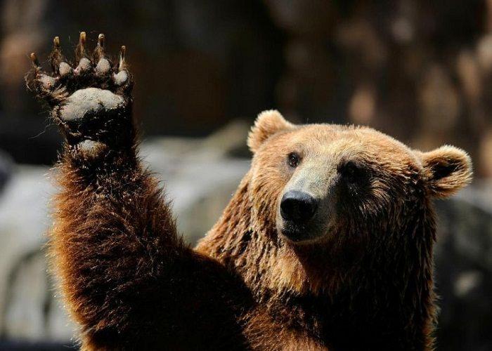 бурый медведь машет лапой