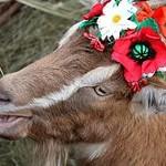 коза-королева красоты