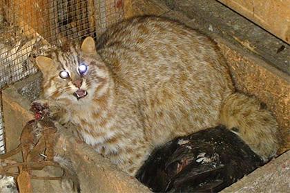 лесной кот спасен из капкана в приморье