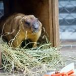 Сурок Олеся из зоопарка Лимпопо