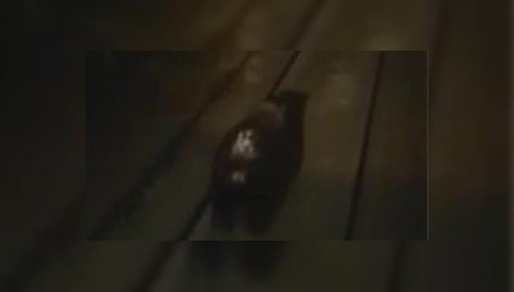 медведь убегает от поезда в норильске