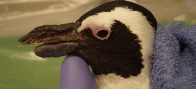 пингвин с протезом клюва