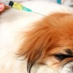 вакцинация домашних животных, прививка пекинесу