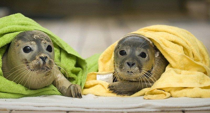 полотенчики для тюленчиков