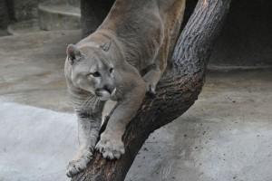 пума на ветке в зоопарке