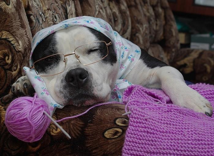 собака-старушка с вязанием