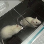 крысы спасают друг друга из воды