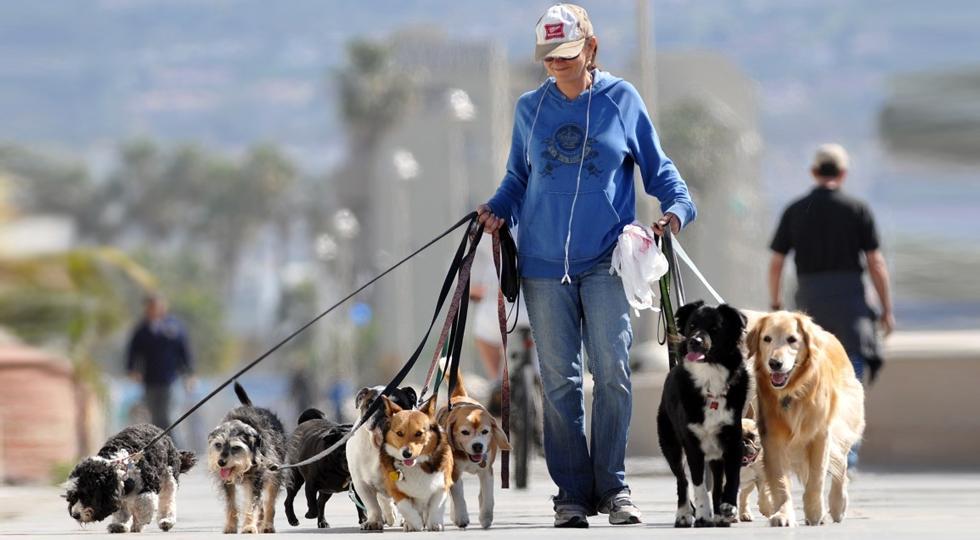 много собак на поводках