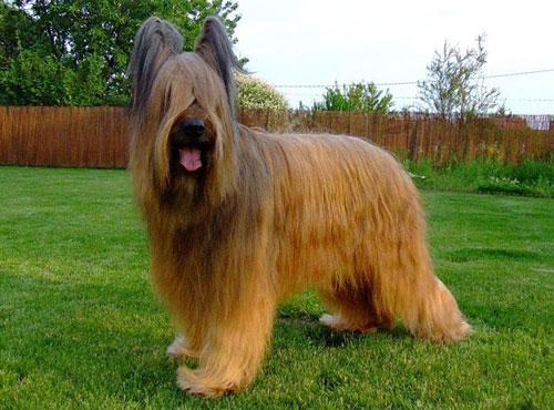 порода собак -бриар