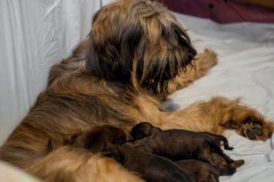 сука бриара со щенками