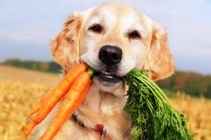 sobaka morkovka