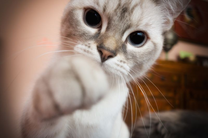 котенок тянет лапку