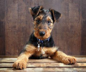 щенок эрдельтерьера