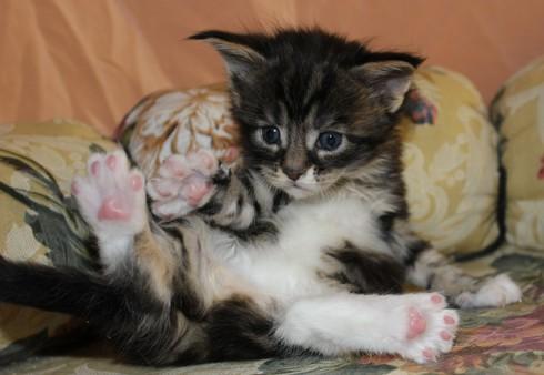 мейн кун котенок в доме первые дни адаптации