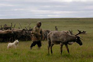 оленегонная ненецкая лайка на пастбище со стадом и пастухом