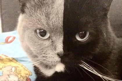 кот химера