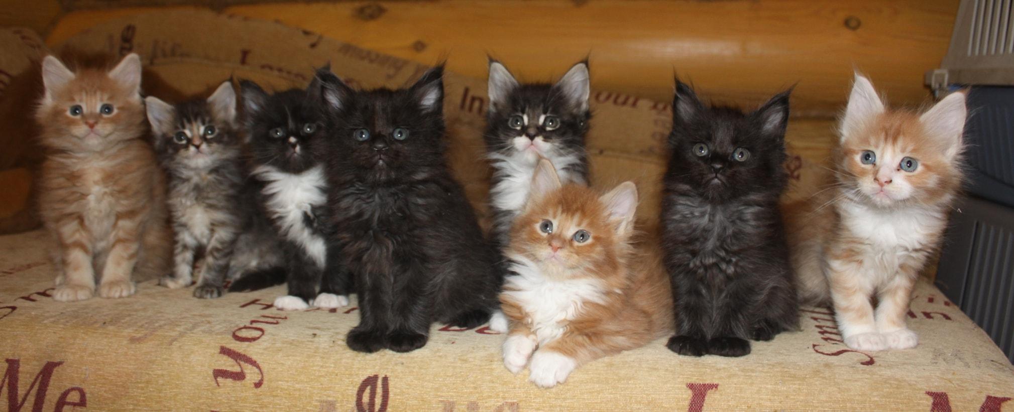 на фото 8 котят мейкуна