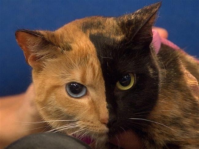 рыжий кот химера