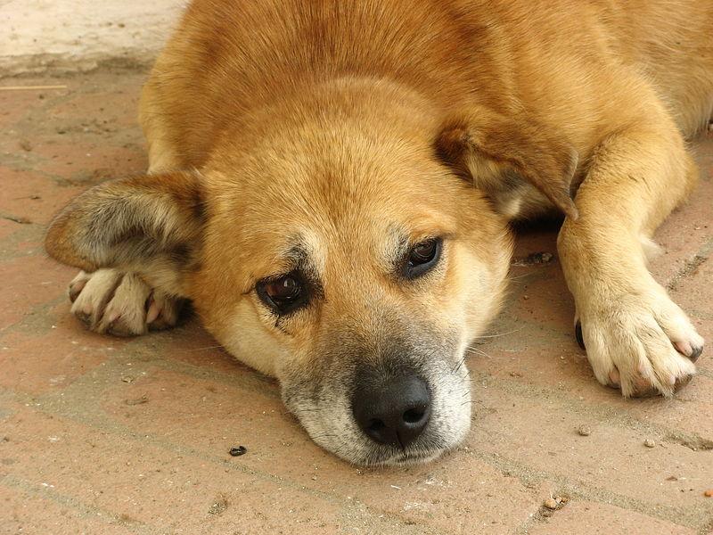 собака дворняжка грустная